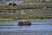 Muskox (Ovibos moschatus) in water, Quebec-Labrador Peninsula, Canada