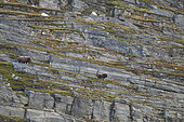 Muskox (Ovibos moschatus) and young in cliff, Quebec-Labrador Peninsula, Canada