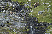 Muskox (Ovibos moschatus) on a slope, Quebec-Labrador Peninsula, Canada