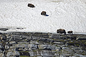 Muskox (Ovibos moschatus) and young in the snow, Quebec-Labrador Peninsula, Canada