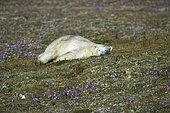 Ours polaire (Ursus maritimus) couché dans la toundra, Péninsule du Québec-Labrador, Canada