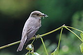 Spotted flycatcher (Muscicapa striata) with prey, France