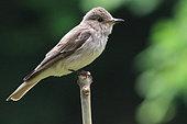 Spotted flycatcher (Muscicapa striata) on a branch, France