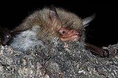 Natterer's Bat (Myotis nattereri) laid down, France