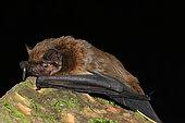 Lesser Noctule (Nyctalus leisleri) laid down, France