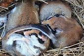 Garden dormice (Eliomys quercinus) asleep in their dry grass nest, France