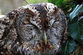 Portrait of Tawny Owl (Strix aluco) asleep, France
