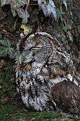 Tawny Owl (Strix aluco) asleep, France