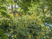 Ligularia przewalskii, Parc floral Vincennes, Paris, France
