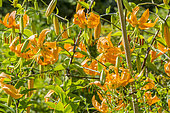 Henry's lily in bloom in a garden