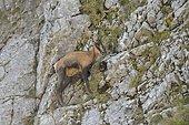 Chamois des Abruzzes (Rupicapra pyrenaica ornata) sur falaise, Parc National des Abruzzes, Italie