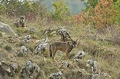 Italian Wolves (Canis lupus italicus) on a slope, Abruzzo, Italy