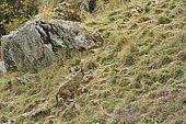 Italian Wolf (Canis lupus italicus) on a slope, Abruzzo, Italy