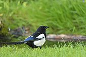 Eurasian Magpie (Pica pica) at the water's edge, Ile-de-France, France