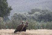 Eurasian Black Vultures (Aegypius monachus) on gournd in rain, San Pedro Sierra, Extremadura, Spain