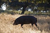 Black Iberian Pigs in Dehesa woodland feeding on acorns, San Pedro, Extremadura, Spain