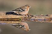 Chaffinch (Fringilla coelebs) male at drinking pool, Extremadura, Spain