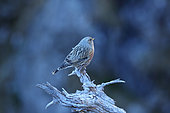 Alpine Accentor (Prunella collaris) on a branch, Interlaken, Switzerland