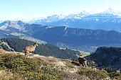 Two female Alpine Ibex (Capra ibex), Bernese Alps, Switzerland