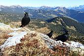 Alpine Chough (Pyrrhocorax graculus), Gemmenalphorn, Switzerland