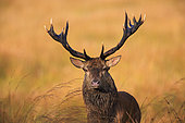 Red Deer (Cervus elaphus) portrait of male, Ardennes, Belgium