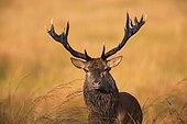 Cerf élaphe (Cervus elaphus) portrait de mâle, Ardenne, Belgique