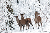 Red Deer (Cervus elaphus) group in a snowy undergrowth, Ardennes, Belgium