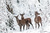 Cerf élaphe (Cervus elaphus) groupe dans un sous-bois enneigé, Ardenne, Belgique