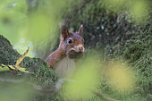 Red squirrel (Sciurus vulgaris) making reserves of beechnuts, Ardennes, Belgium