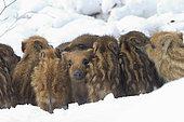 Wild boar (Sus scrofa) piglets huddled in a snowy undergrowth, Ardennes, Belgium