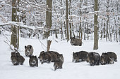 Wild boars (Sus scrofa) group walking in a snowy undergrowth, Ardennes, Belgium