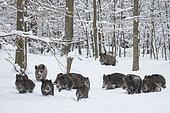 Sangliers d'Eurasie (Sus scrofa) troupe marchant dans un sous-bois enneigé, Ardenne, Belgique