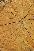 Pedunculate oak (Quercus robur) Cross section of a limb, showing the heartwood and sapwood, Forêt de Coye, Ile-de-France, France