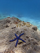 Blue starfish (Linckia laevigata), Great Barrier Reef, UNESCO World Heritage Site, Queensland, Upolu Reef, Australia