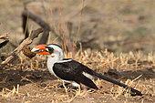 Von der Decken's Hornbill (Tockus deckeni) male raising a dung looking for insects, Tanzania