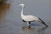 Blue Crane (Anthropoides paradisea) in the water, Zululand, South Africa