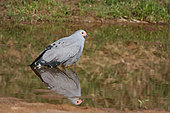 African Harrier-hawk (Polyboroides typus) in water, South Africa