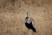 Red-crested bustard (Lophotis ruficrista) male singing in the dry grass, Kruger, South Africa