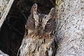 Malagasy Scops Owl (Otus rutilus) near its hole, Zombitse National Park, Madagascar