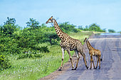 Giraffe (Giraffa camelopardalis) and young croosing a road, Kruger National park, South Africa