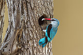 Woodland kingfisher (Halcyon senegalensis) in nest, Kruger National park, South Africa