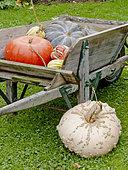 Récolte de potirons en automne