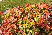 Sacred bamboo (Nandina domestica) 'Power Fire' in summer in a garden, Brittany, France