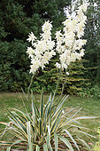 Adam's Needle (Yucca filamentosa) hybrid variegated flowers in summer in a garden, Brittany, France