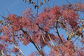 Japanese Angelica tree (Aralia elata) fruiting in autumn, Brittany, France
