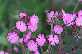 Red Campion (Silene dioica) in bloom in a fallow land in Brittany, France