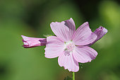 Musk Mallow (Malva moschata) in bloom in a wasteland in summer, Brittany, France