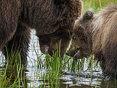 Coastal brown bear, also known as Grizzly Bear (Ursus Arctos) female and cub feeding on grass. South Central Alaska. United States of America (USA).
