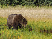 Coastal brown bear, also known as Grizzly Bear (Ursus Arctos) feeding on grass. South Central Alaska. United States of America (USA).
