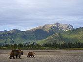 Grizzly (Ursus Arctos) ourse et son ourson sur la berge. Centre-sud de l'Alaska. USA